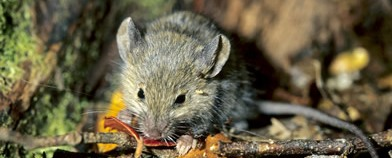 mouse rodents Zap pest control services Hutt Wellington