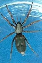 whited tailed spider Zap pest control services Hutt Wellington